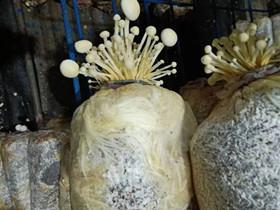 深度分析黄金针菇袋内出菇原因